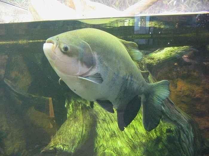 pez pacú, familia Serrasalminae