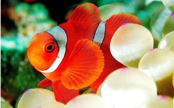 pez payaso (Premnas premnas)