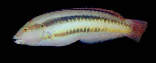 pez pene Halichoeres bivittatus 2