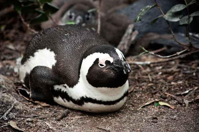 pingüino africano (Spheniscus demersus)