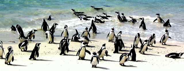 pingüinos africanos (Spheniscus demersus)