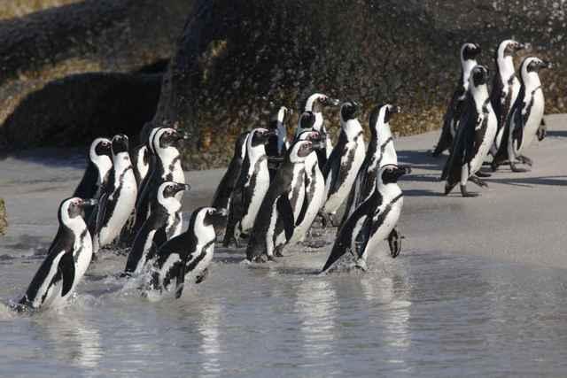 pingüinos africanos o de El Cabo