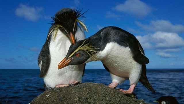 pingüinos de penacho amarillo (Eudyptes chrysocome)
