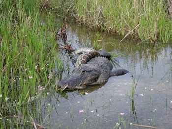 pitón birmana caza un cocodrilo