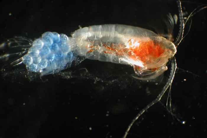 Algunos minúsculos plancton pueden saltar fuera del agua