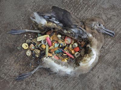plásticos en el estómago de un ave marina