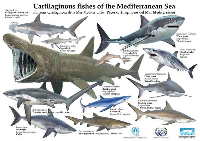 póster tiburones del Mar Mediterráneo