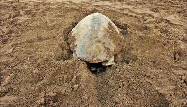 puesta de tortuga golfina en el Ostional, Costa Rica