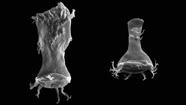 fósiles de quitinozoos