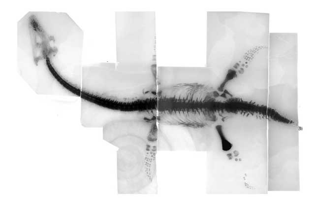 Rayos X de plesiosaurio