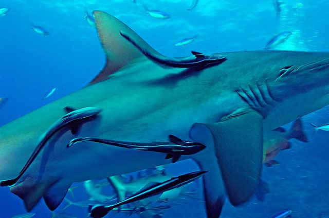 rémoras adheridas a un tiburón
