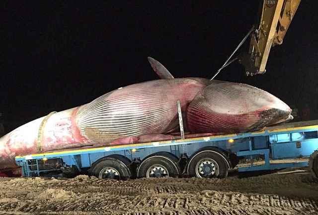 retirada de una ballena varada en Irlanda