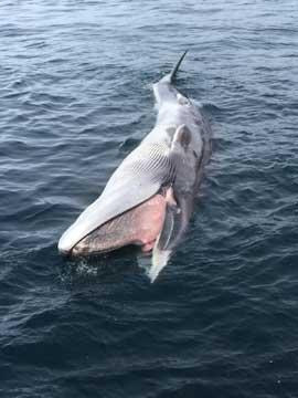 rorcual muerto flotando en aguas de Alaska