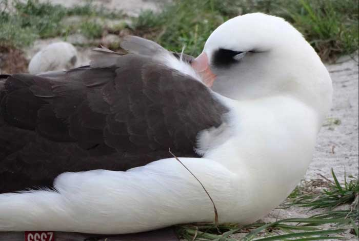 Sabiduría, el albatros más viejo del mundo