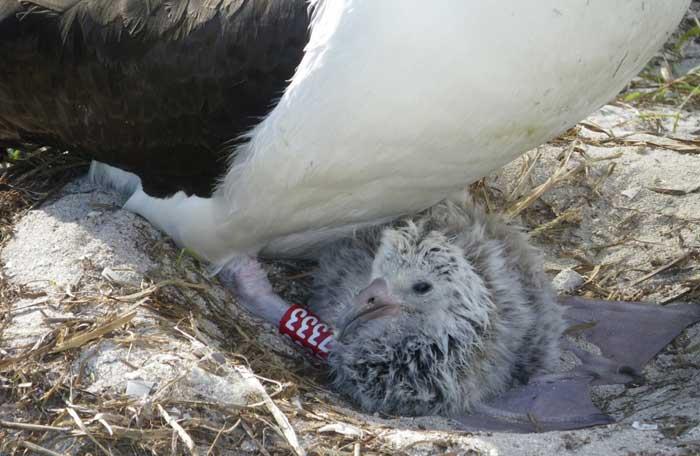 Sabiduría con su polluelo
