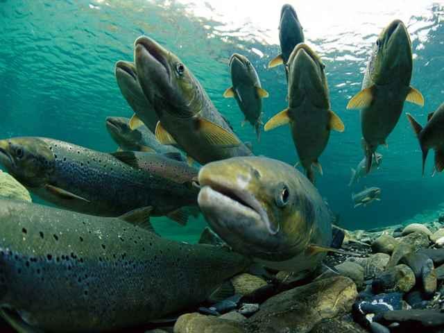 gen del tamaño en salmones del Atlántico