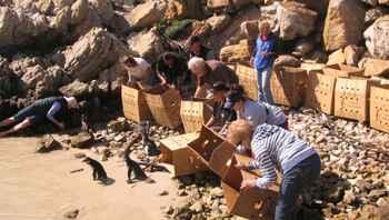 suelta de pingüinos africanos