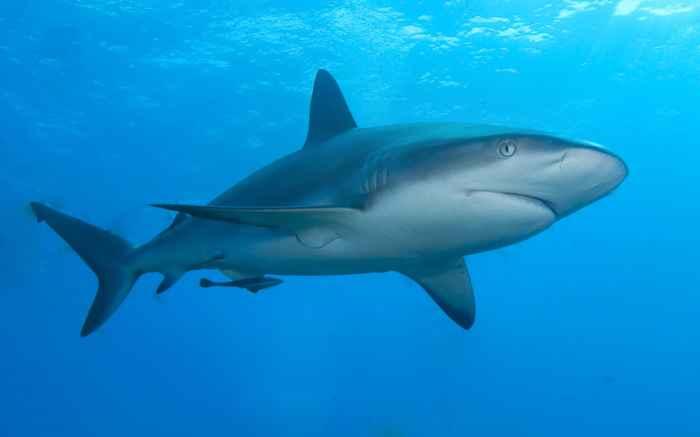 tiburón de arrecife del Caribe (Carcharhinus perezii)