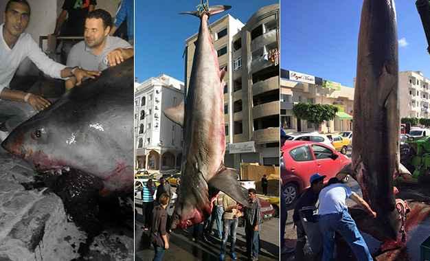 gigantesco tiburón blanco pescado en Tunez