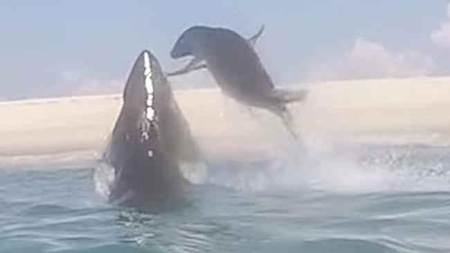 foca escapa de tiburón