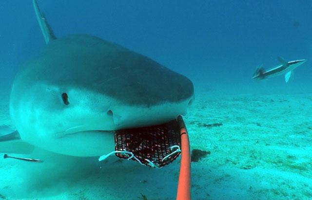 tiburón mordiendo un cebo