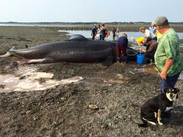 tiburón peregrino varado en Maine