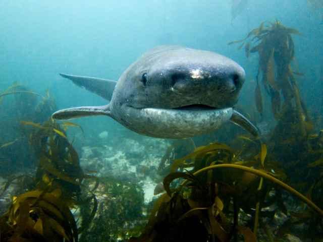 tiburón vaca