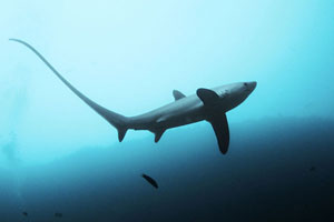 tiburón zorro en Monad Shoal, Filipinas