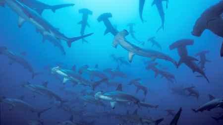 tiburones martillo del Pacífico