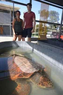 investigación sobre la tortuga caguama o boba
