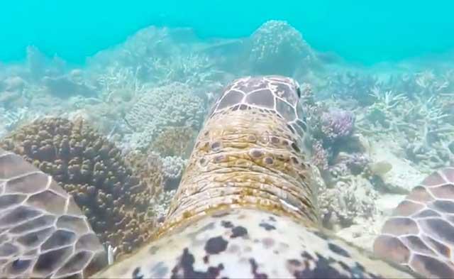 tortuga nadando en la Gran Barrera de Coral australiana