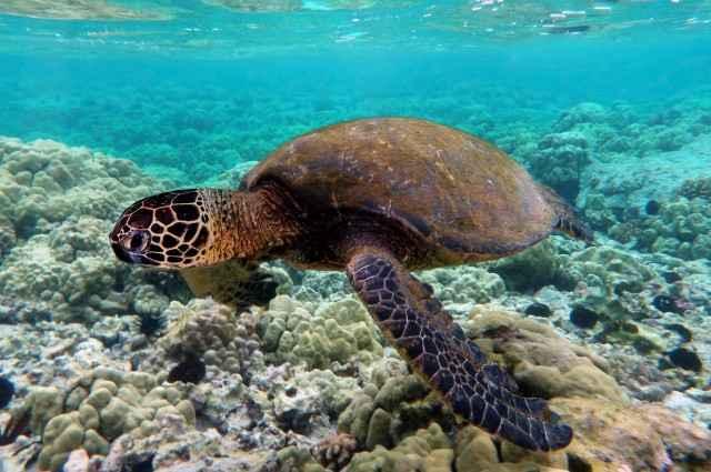 tortuga verde del Pacífico oriental (Chelonia mydas)