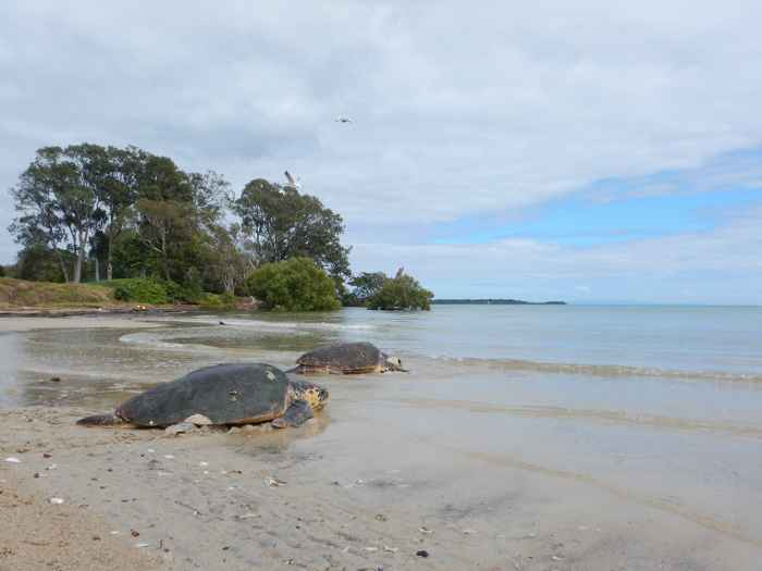 tortugas bobas en Moreton Bay, Australia