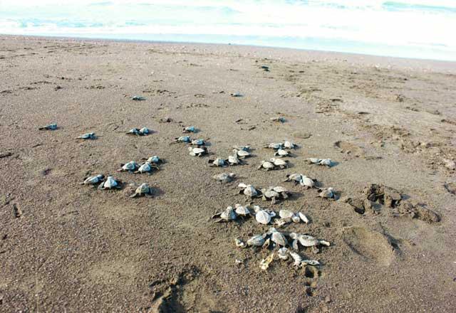 bebés de tortugas golfina se dirigen al mar en el Ostional