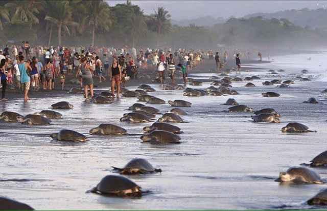 turistas impiden la anidación de tortugas marinas en Costa Rica