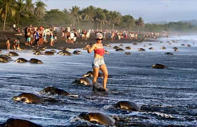 turistas impiden anidación de tortugas marinas en Costa Rica