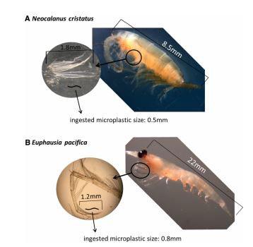 zooplancton ingeriendo plástico
