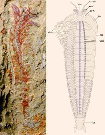fósil de Chengjiangocaris kunmingensis y su reconstrucción