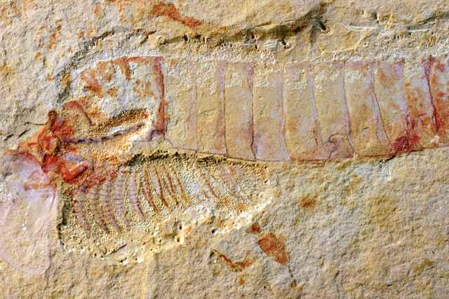 fósil de Chengjiangocaris kunmingensis