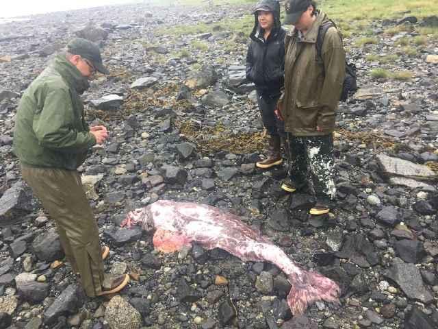 Icosteus aenigmaticus encontrado en Alaska