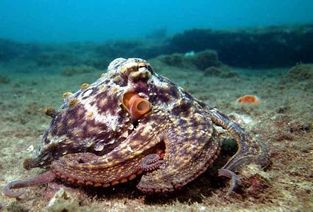 pulpo sombrío (Octopus tetricus)