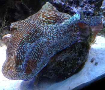 almeja gigante Tridacna derasa