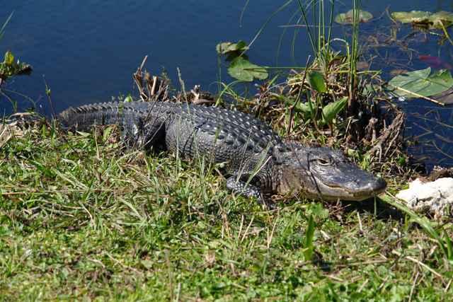 aligátor americano de los Everglades