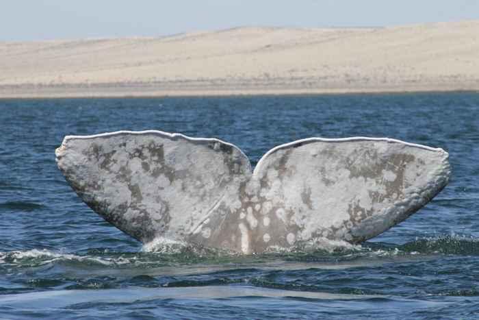 ballena albina Galón de leche avistada en México