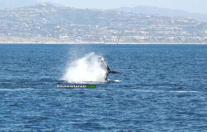ballena enredada en una boya de trampa pesquera