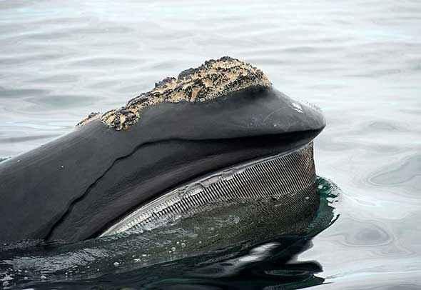 ballena jorobada alimentándose