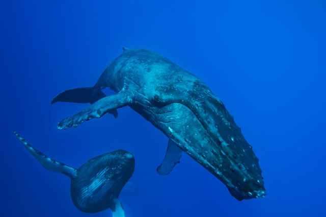 canto de la ballena jorovada haciendo el amor