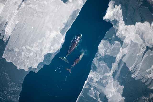 ballenas jorobadas en el Ártico