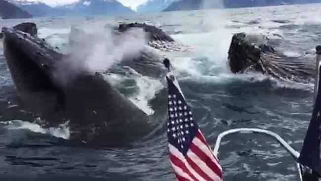 ballenas cazan en red de burbujas