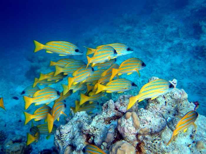 banco de peces Lutjanus kasmira
